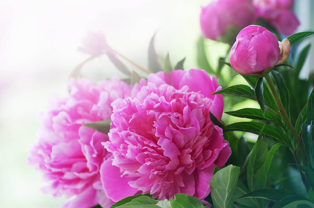 Choose Peonies for Your  Perennial Garden